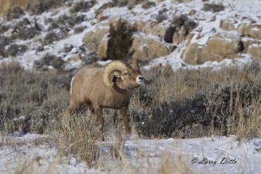 Bighorn ram threatening smaller rams during rut