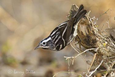 Black and White Warbler (Mniotilta varia), spring, adult, migration