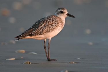 Black-bellied_Plover_Larry_Ditto_07_0573