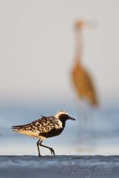 Black-bellied Plover on beach in the lower Laguna Madre, Texas