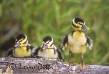 Black-bellied_Whistling_Duck_Larry_Ditto