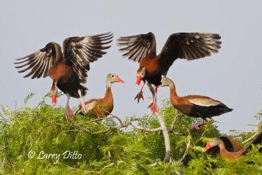 Black-bellied Whistling Ducks landing in mesquite, s. Texas