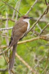 Black-billed Cuckoo resting in thicket