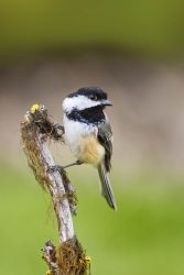 Black-capped Chickadee (Poecile atricapilla) foraging