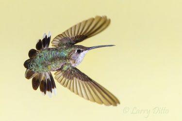 Black-chinned_Hummingbird_51U5856