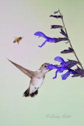 Black-chinned_Hummingbird_51U8708
