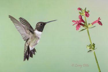 Black-chinned_Hummingbird_79A1946