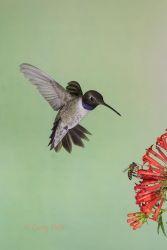 Black-chinned_Hummingbird_79A1979