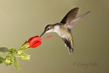 Black-chinned Hummingbird at Turk's Cap flower, south Texas