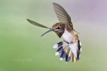 Black-chinned Hummingbird hovering, s. Texas