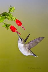Black-chinned Hummingbird hovering at Turk's Cap flowers, s. Texas