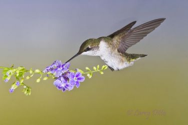 Black-chinned Hummingbird feeding at ornamental flower, s. Texas