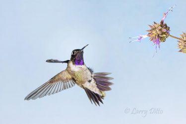 Black-chinned_Hummingbird___Flower_3