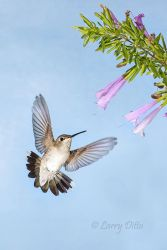 Black-chinned_Hummingbird___Flower_4