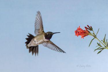 Black-chinned_Hummingbird___Flower_Blend