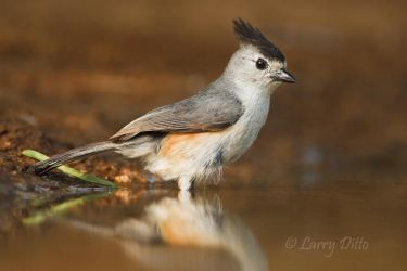 Black-crested Titmouse ready to bathe in south Texas ranch pond