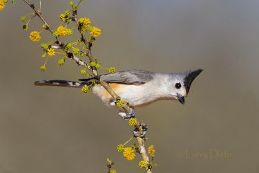 black-crested titmouse, male
