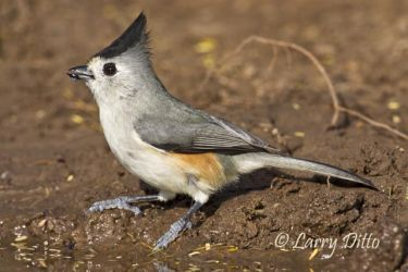 Black-crested_Titmouse_Larry_Ditto_70K3202