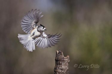 Black-crested_Titmouse_Larry_Ditto_70K3921