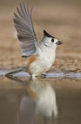Black-crested_Titmouse_Larry_Ditto_70K5385