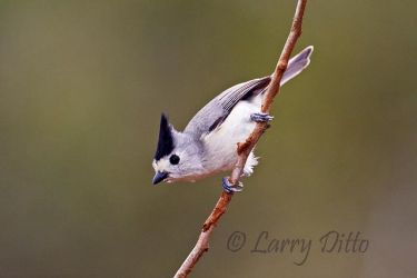 Black-crested Titmouse on south Texas ranch