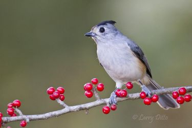 Black-crested_Titmouse_Larry_Ditto_MG_0597