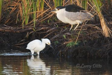 Black-crowned_Night-Heron_Larry_Ditto_70K1874