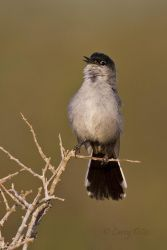 Black-tailed Gnatcatcher singing, s. Texas, May