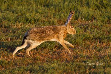 Black-tailed Jackrabbit running