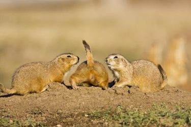 Black-tailed_Prairie_Dog_Larry_Ditto_70K9292