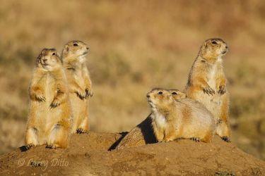 black-tailed prairie dogs at burrow