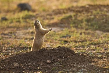 Prairie Dog, Black-tailed