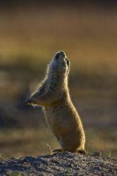 Black-tailed_Prairie_Dog_Larry_Ditto_X0Z8461