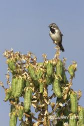 Black-throated_Sparrow_larry_ditto