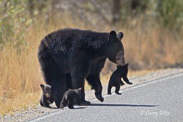 Black Bear Big Bend Natl. Park