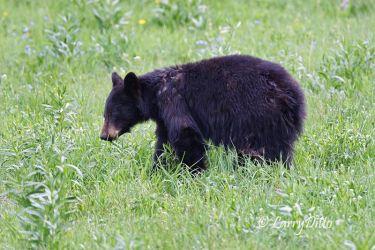 Black Bear_70K2444