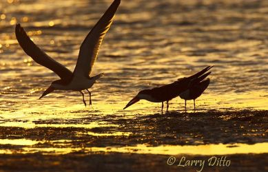 Black Skimmers at sunset