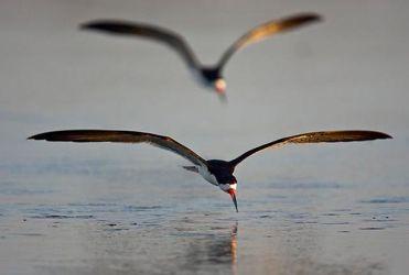 Black Skimmers (Rynchops niger) feeding at daybreak on flat pond