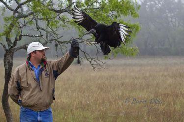 Black Vulture landing on rehabilitator's arm
