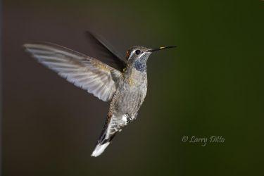 Blue-throated Hummingbird_51U8290