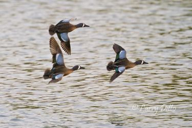 Blue-winged_Teal_Larry_Ditto_MG_3762