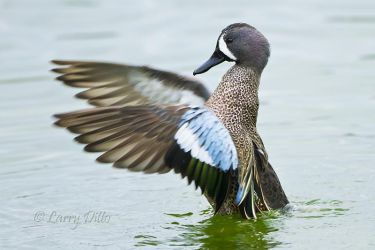 Blue-winged_Teal_Larry_Ditto_MG_9514