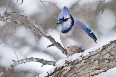 blue jay with pecan in winter, wichita falls, texas