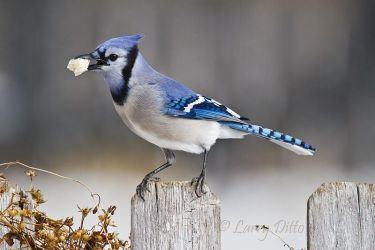 Blue Jay eating bread crumbs after snow