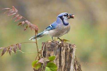 blue jay eating acorns, north Texas, December
