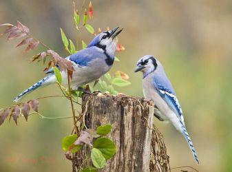 Blue Jays eating acorns, winter, Texas