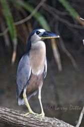 Boat-billed_Heron_Larry_Ditto_mg_4318