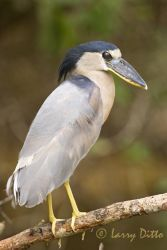 Boat-billed_Heron_Larry_Ditto_mg_4482
