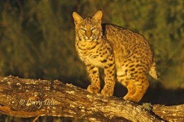 Bobcat (Lynx rufus) on mesquite limb, Texas
