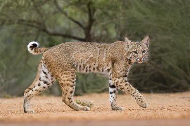 """Bobcat, female with """"ocelot"""" markings on side"""